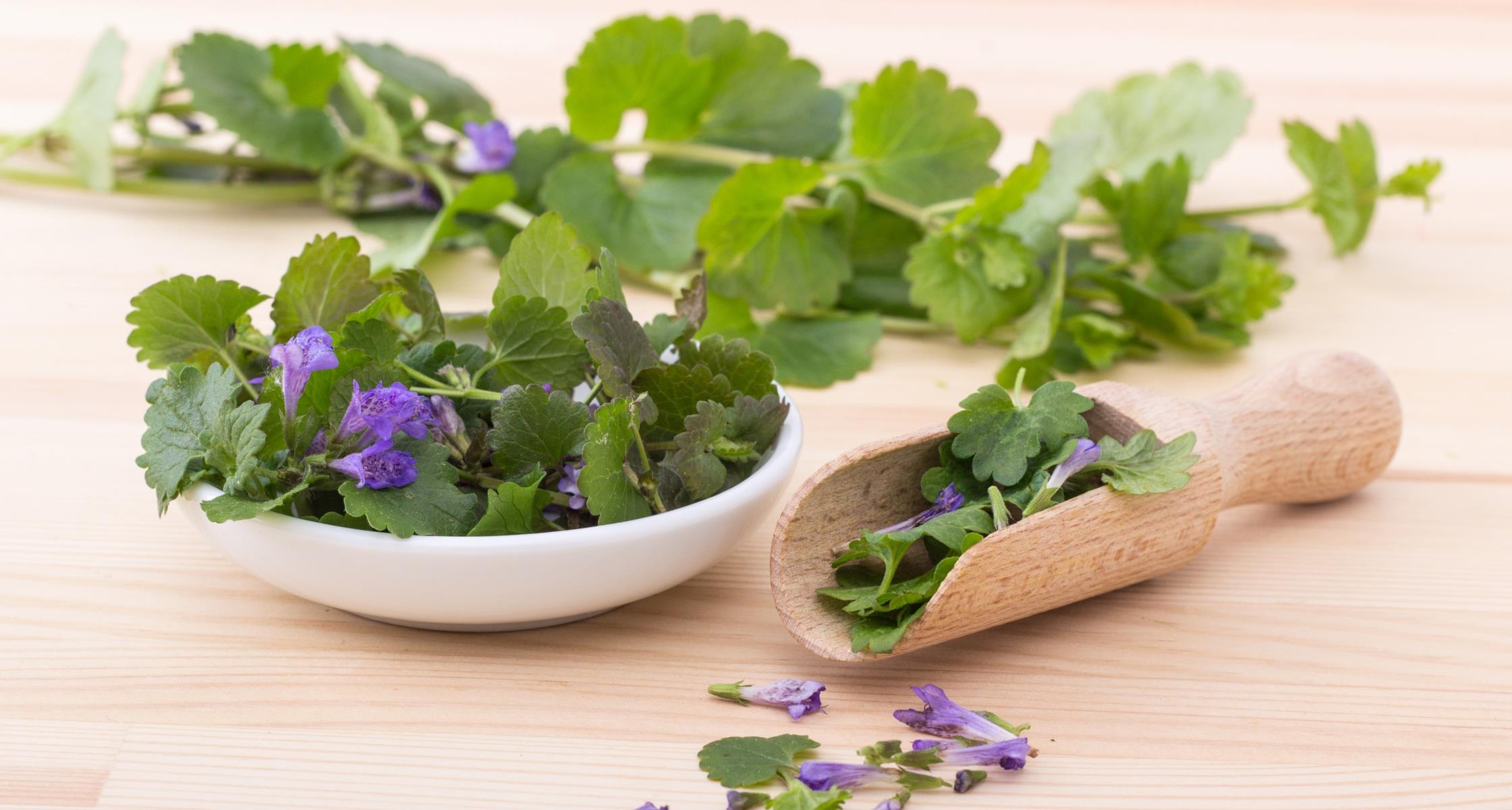 Ground Ivy + Tincture