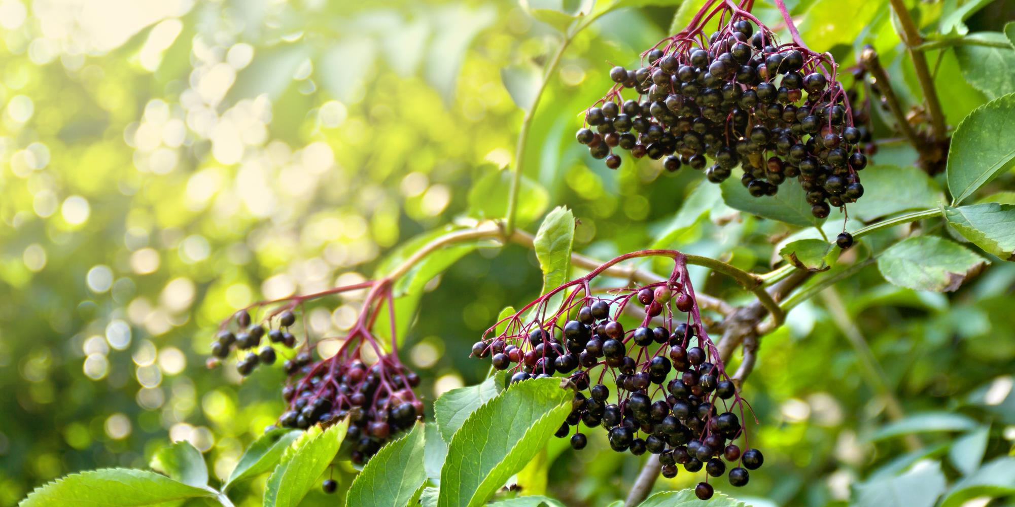 The Magic of Elderberries