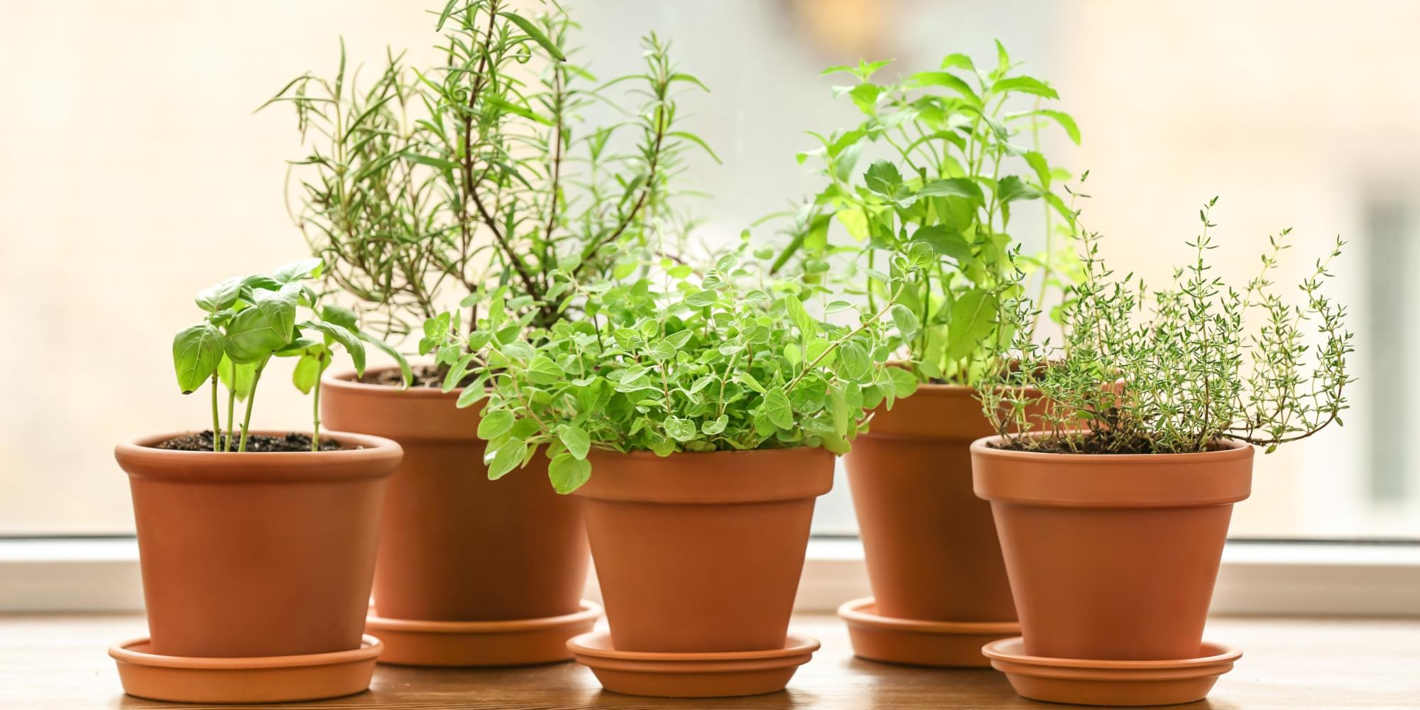 Medicinal Perennial Herbs to Start in your Garden