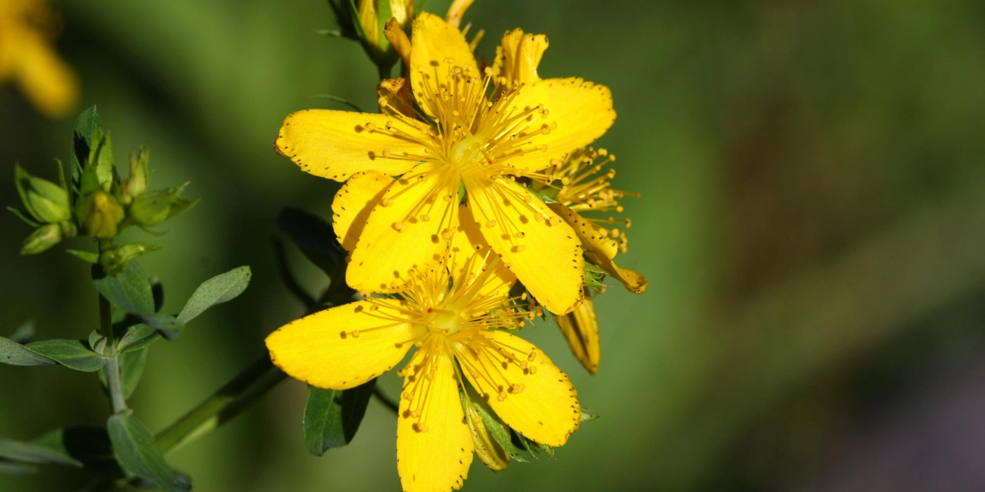 What are the benefits of St. John's Wort?
