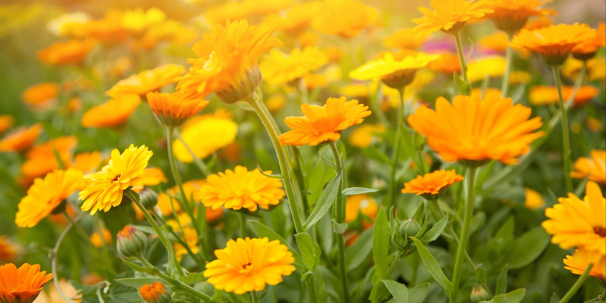 What are the benefits of Calendula flowers?