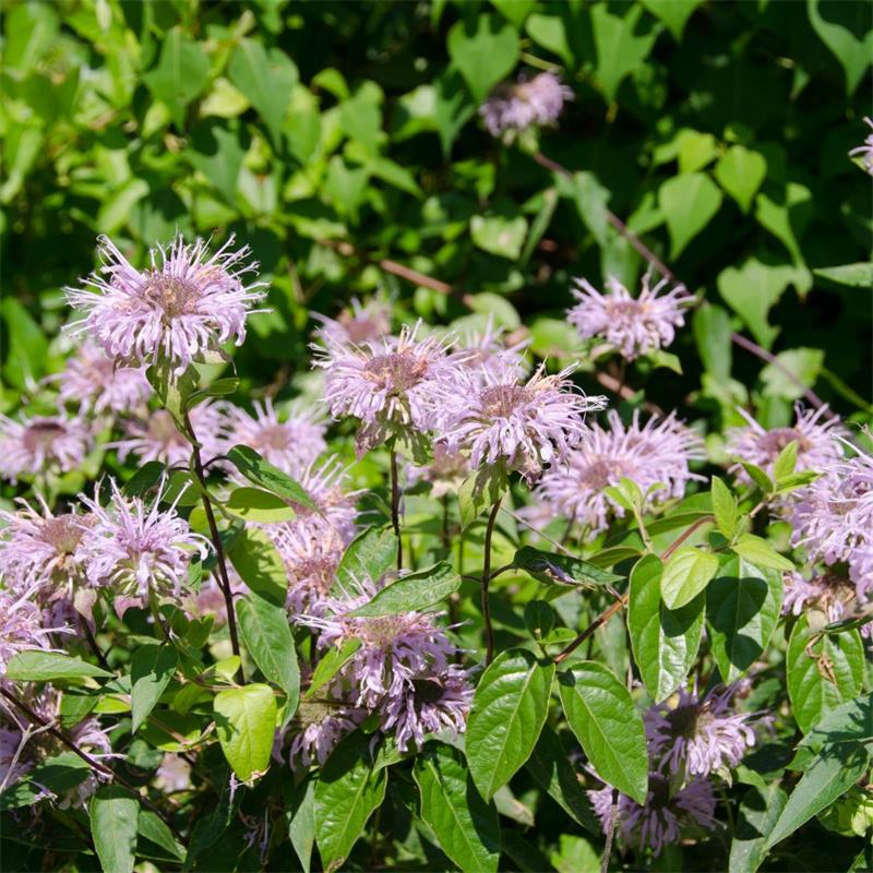 Bee balm - Live Plant