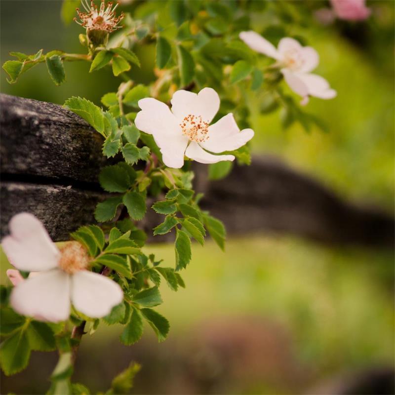 Wild Rose Leaf
