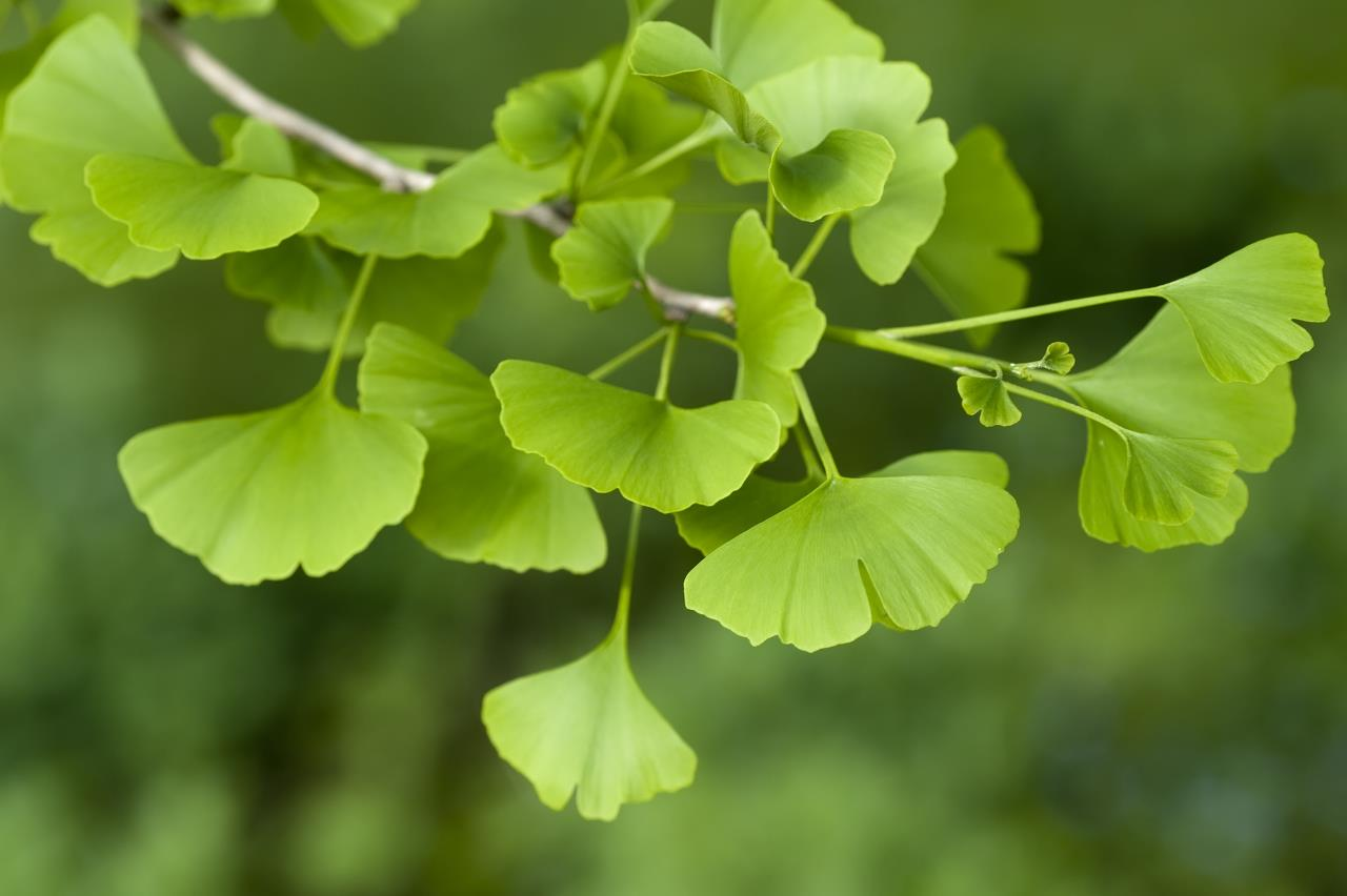 Top 5 Herbs for a Sexy Valentine's Day - Ginko Biloba - Mayernik Kitchen