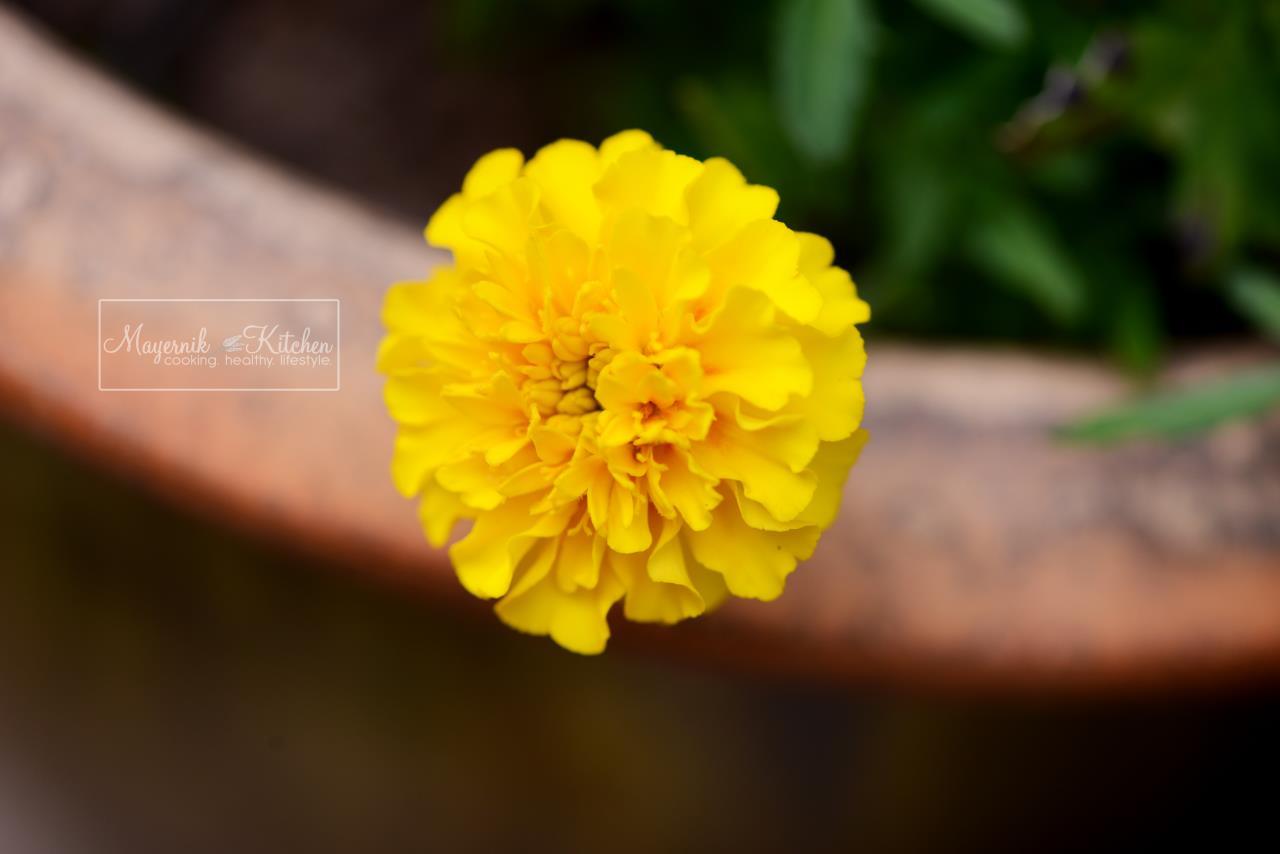 Marigolds -Mayernik Garden - New Jersey Gardens