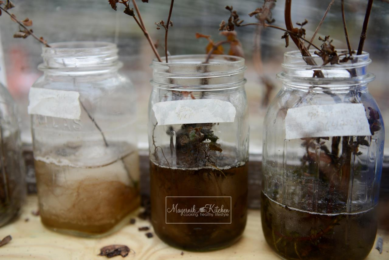 Frozen Herbs in Mason Jars - January 2016 - Mayernik Garden 001