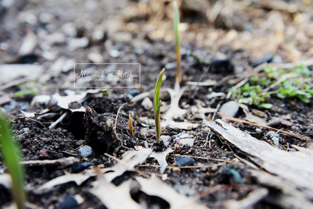 Garlic Bulbs Sprouting - Mayernik Garden