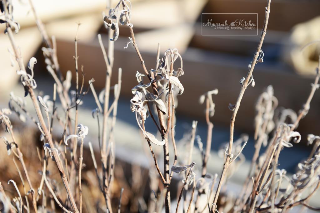 Sage Plant - Mayernik Garden