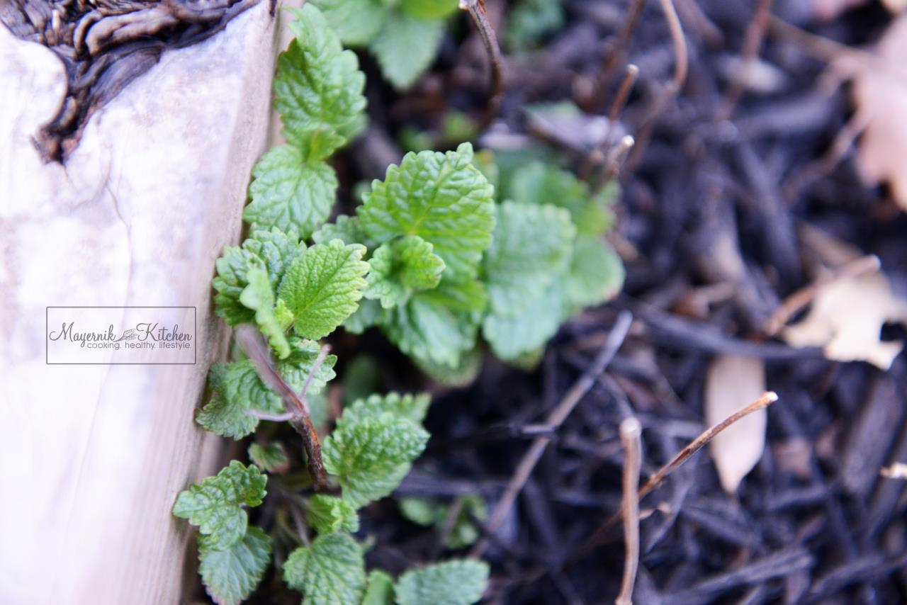 Lemon Balm - Mayernik Garden - Northern New Jersey - #mayernikkitchen
