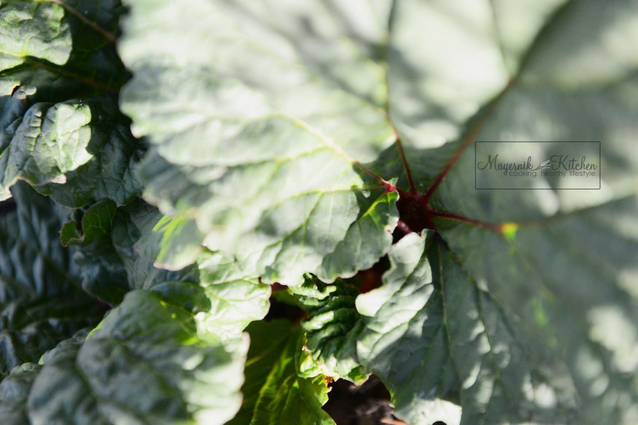Rhubarb - Mayernik Garden - Northern New Jersey - #mayernikkitchen