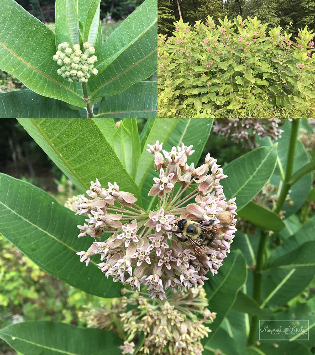 Flowering Common Milkweed - New Jersey - Mayernik Kitchen