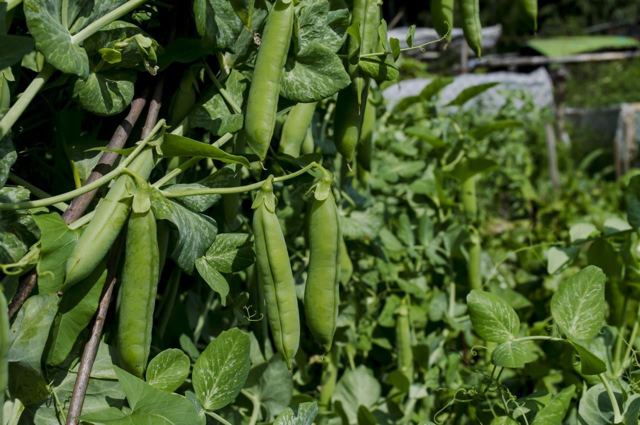 Fresh Garden Peas - Mayernik Garden - Mayernik Kitchen