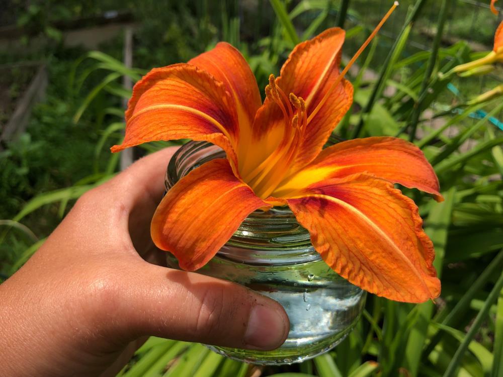 Daylily Flower Essence