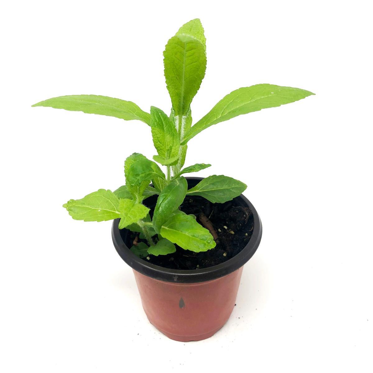 Boneset - Live Plant
