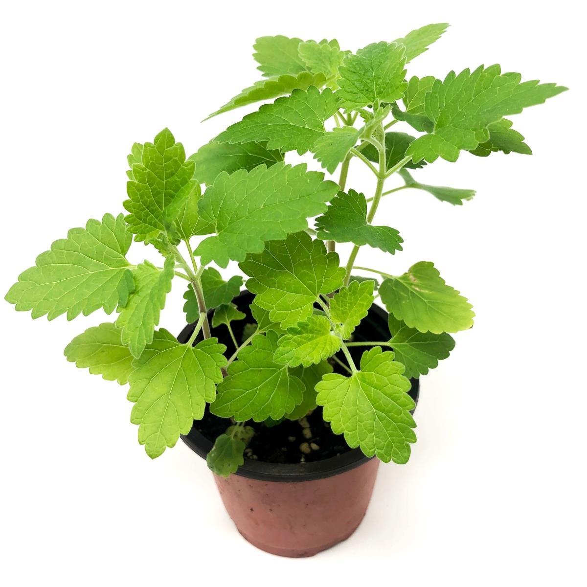 Catnip - Live Plant