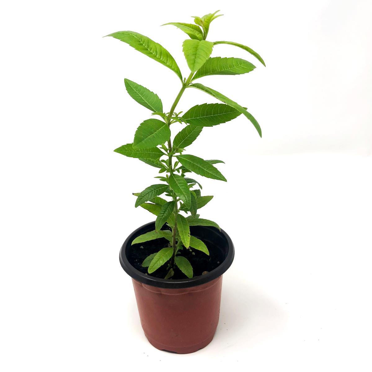 Lemon Verbena - Live Plant
