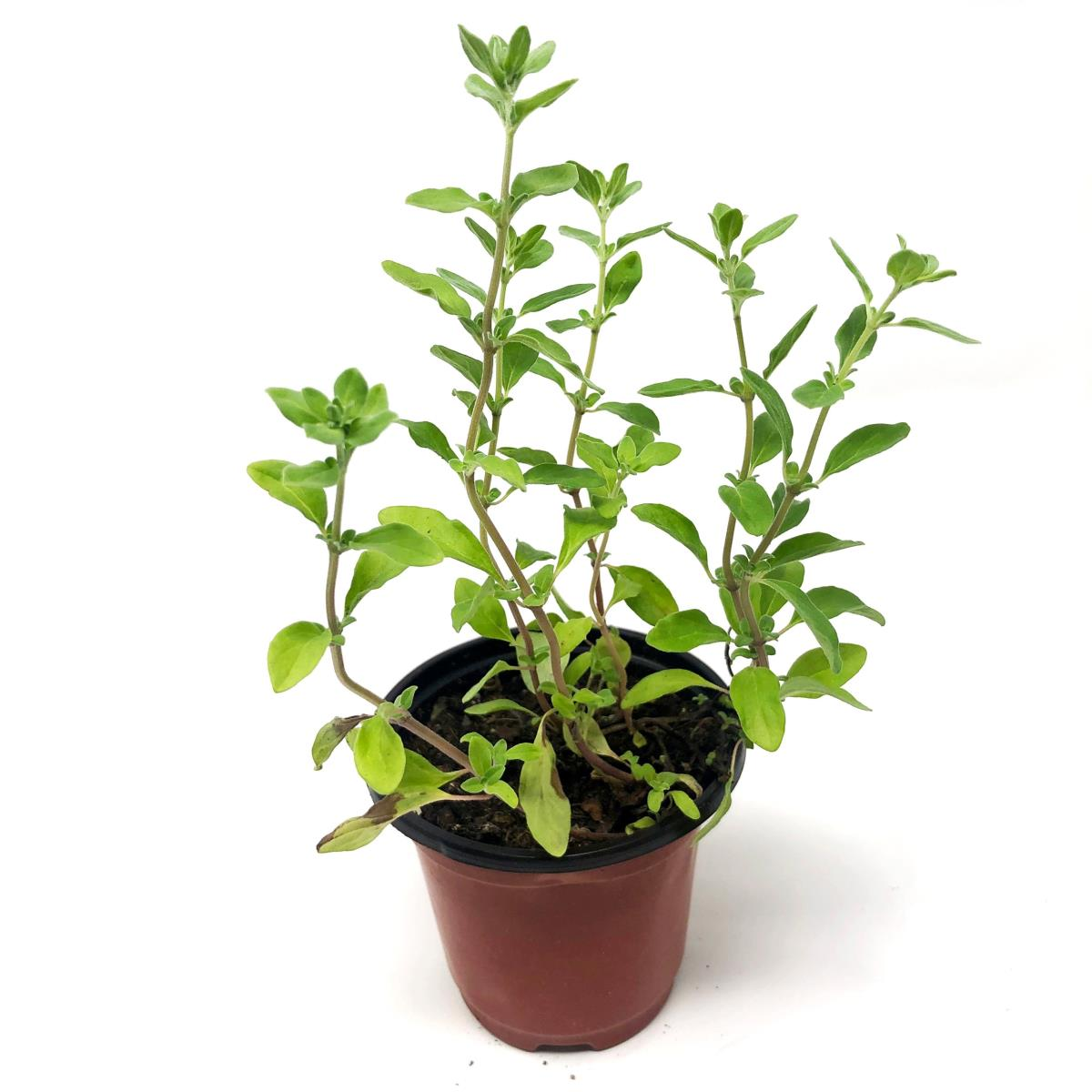 Marjoram - Live Plant