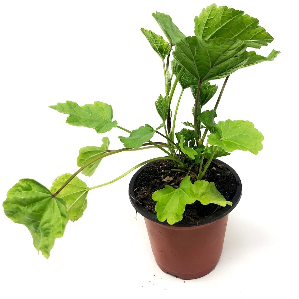 Marshmallow - Live Plant