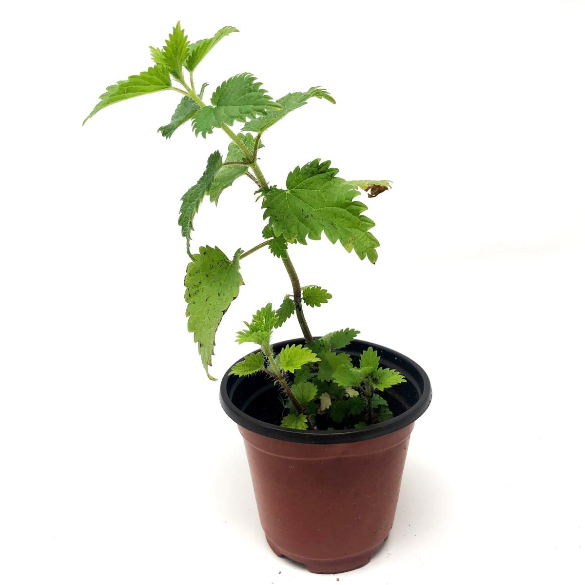 Nettle - Live Plant