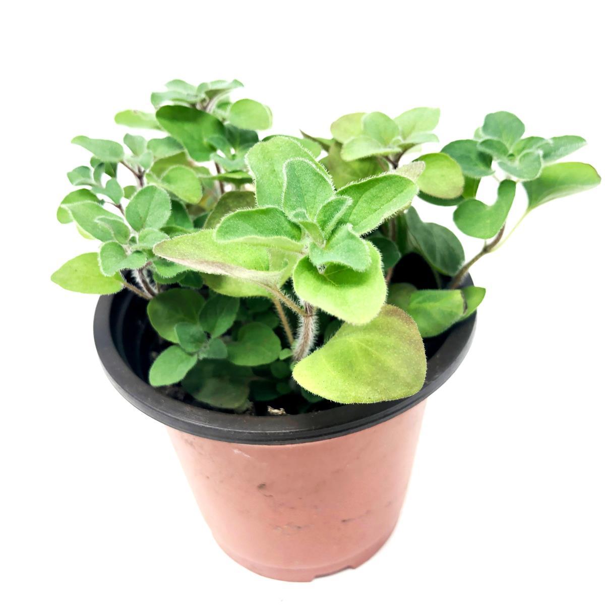 Oregano - Live Plant
