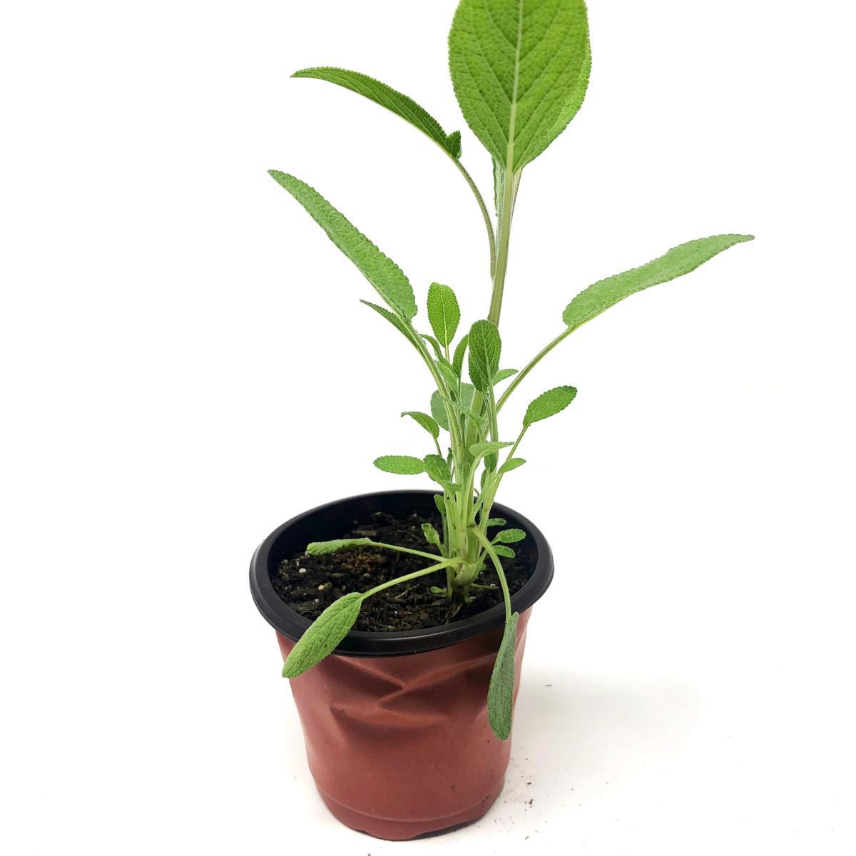 Sage - Live Plant