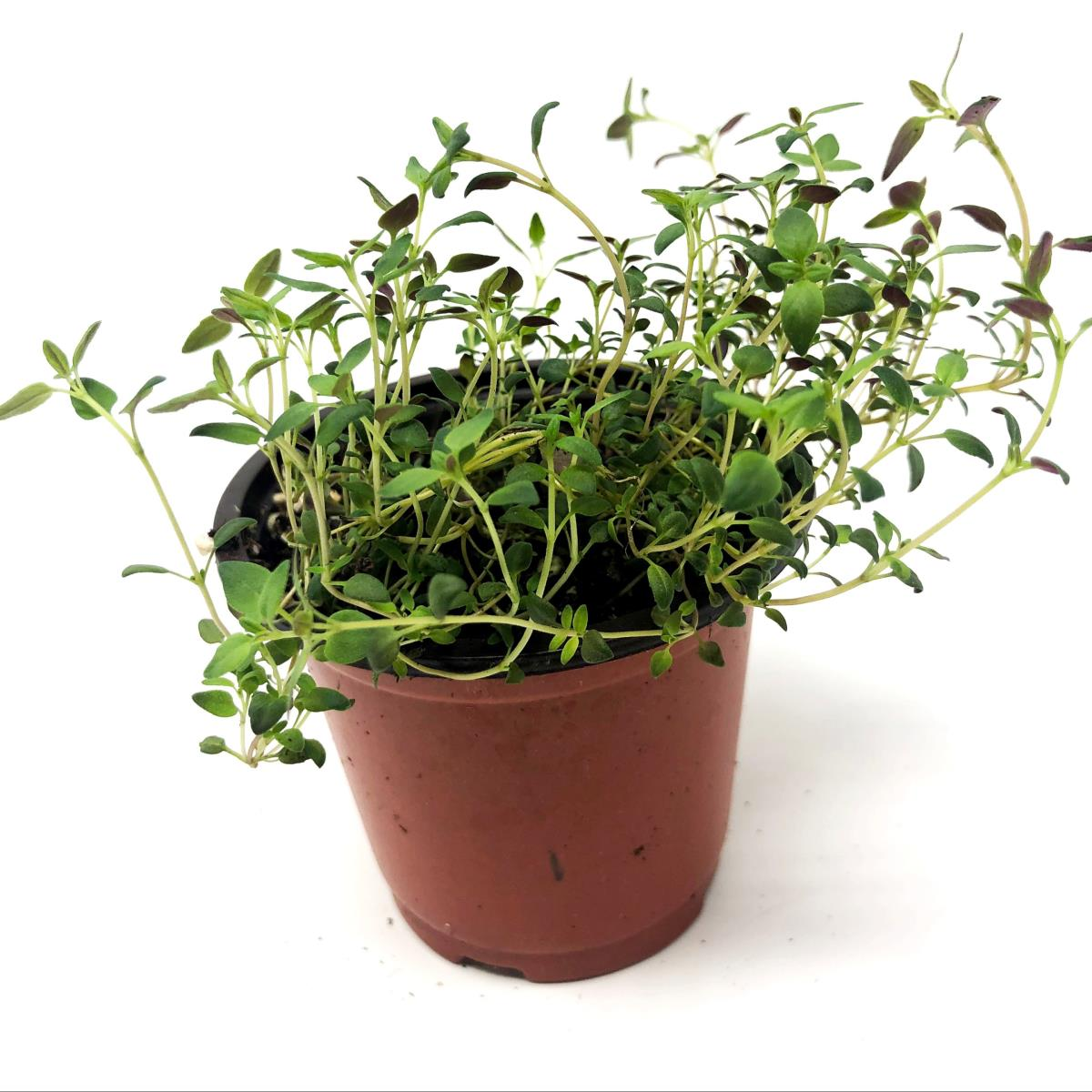 Thyme - Live Plant