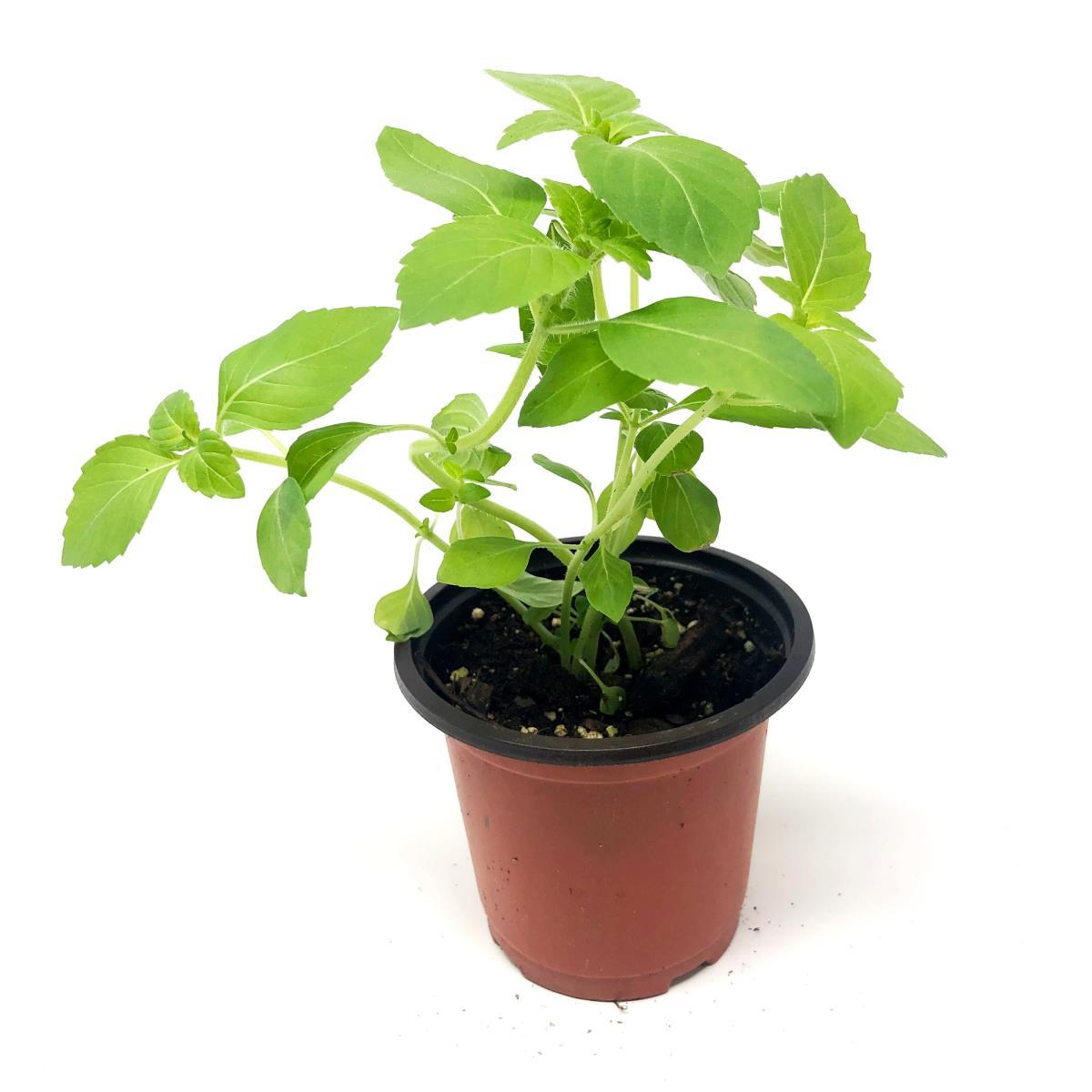Tulsi - Live Plant
