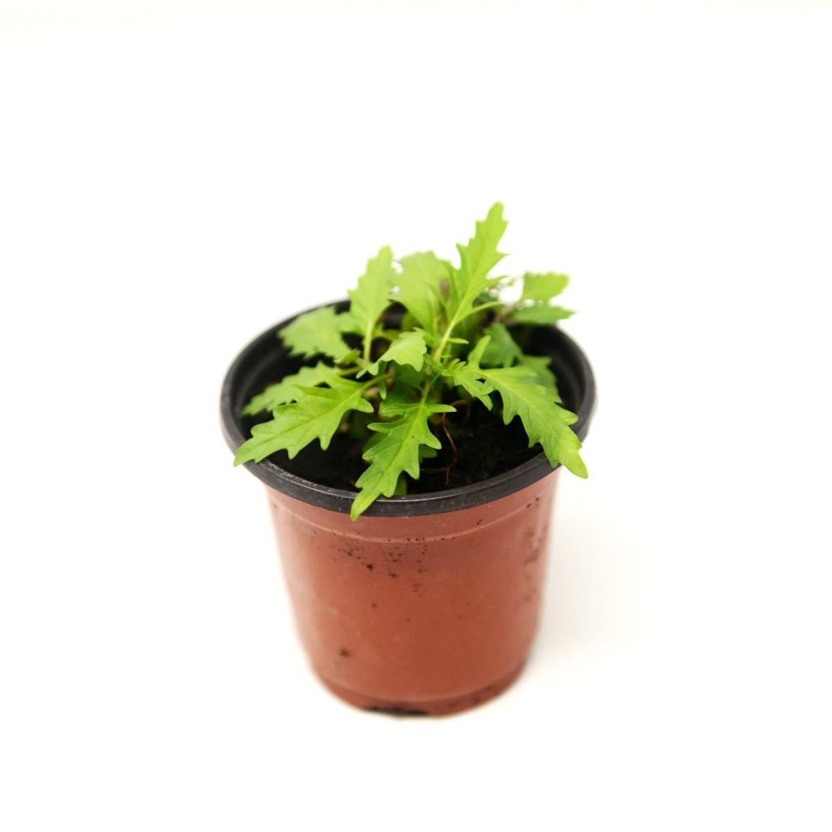 Bugleweed - Live Plant