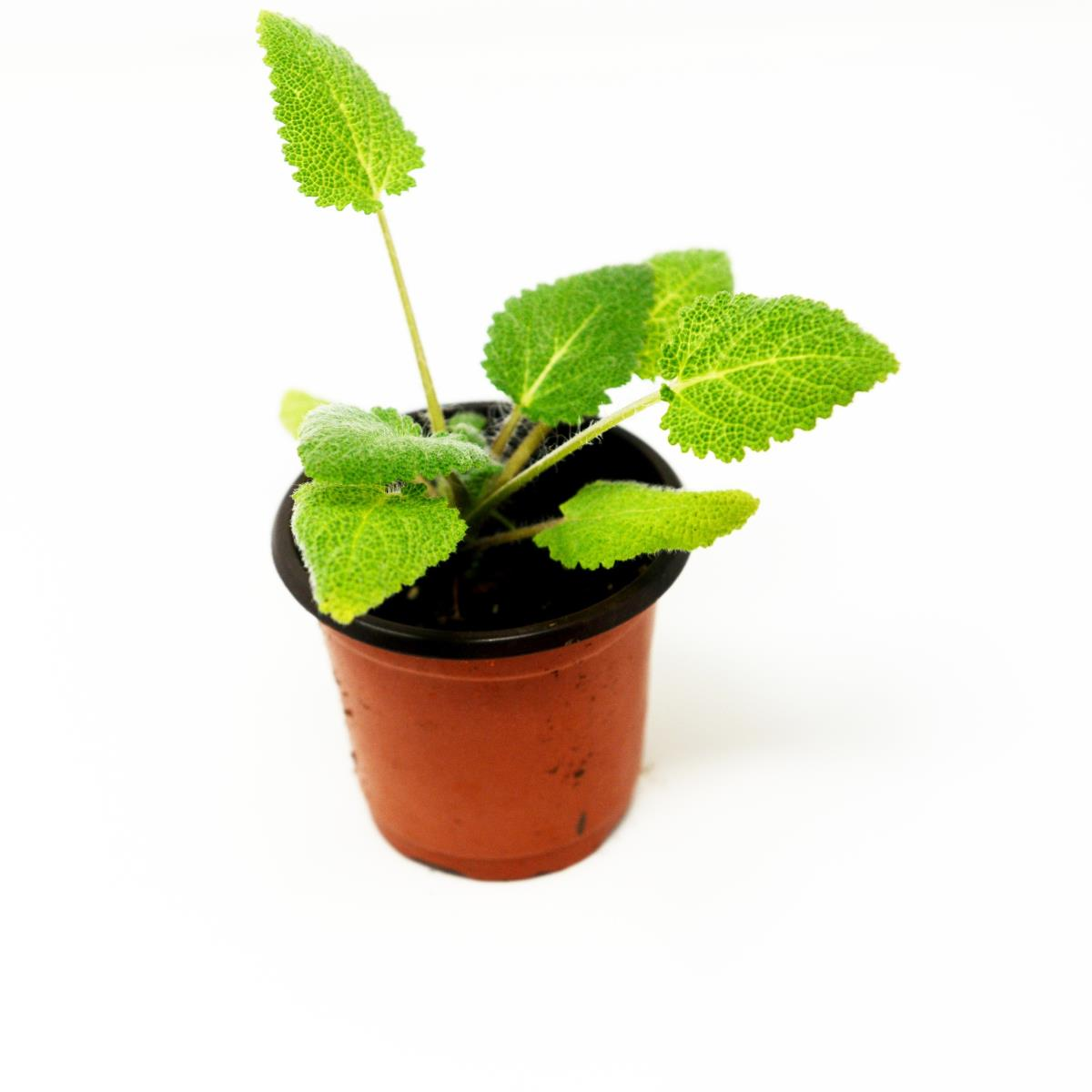 Clary Sage - Live Plant