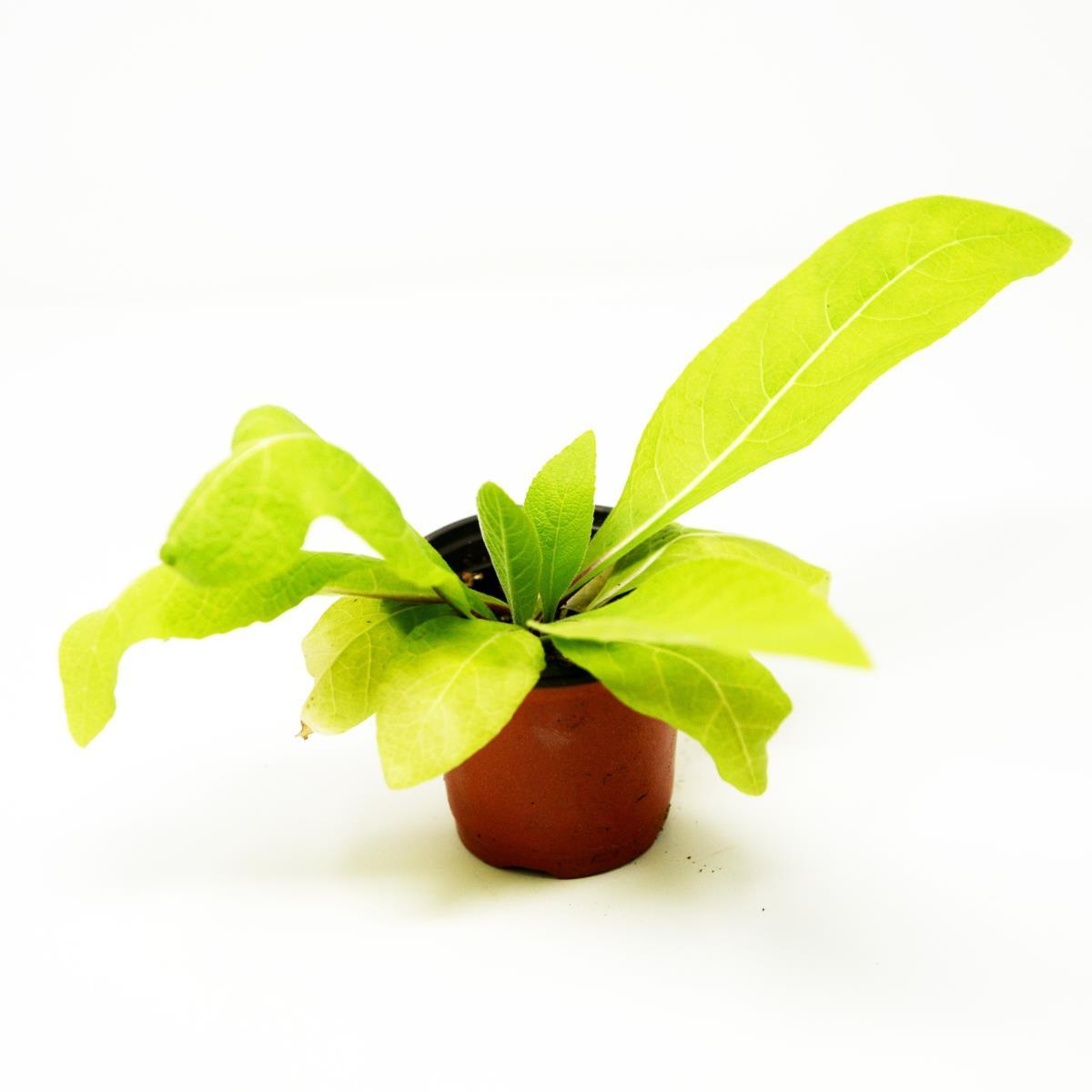 Elecampane - Live Plant