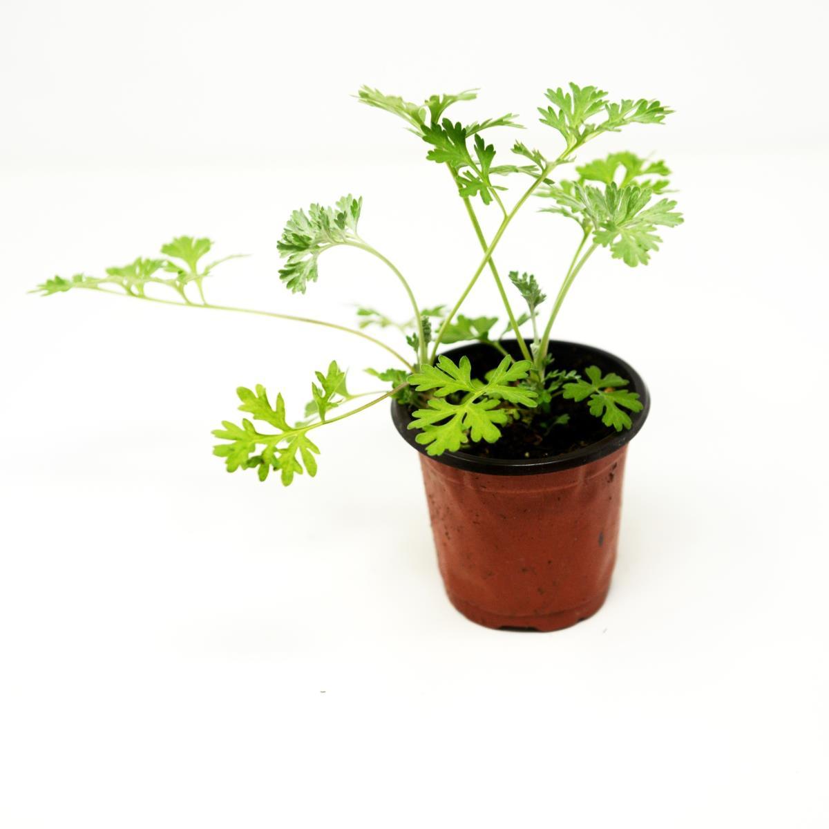 Wormwood - Live Plant