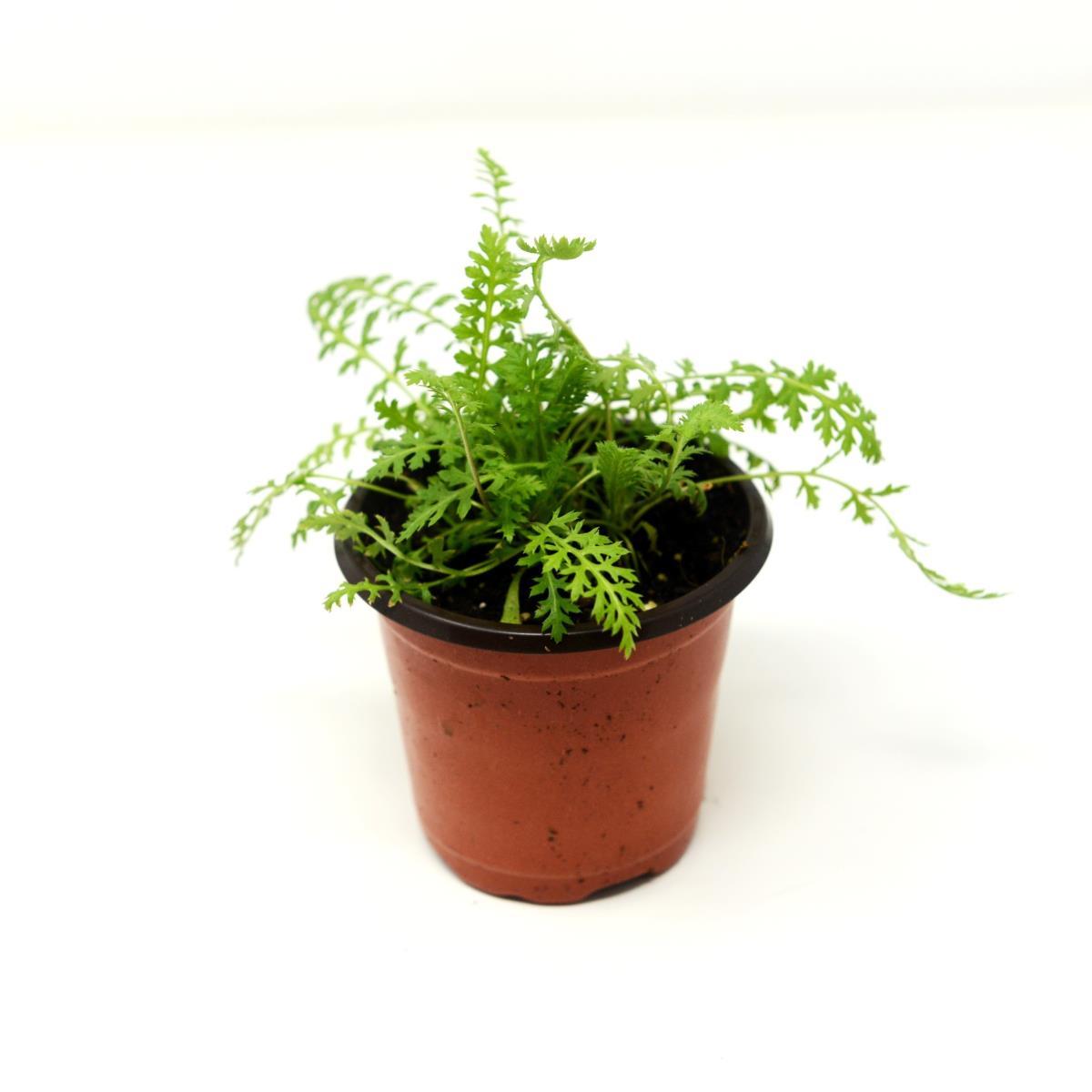 Yarrow - Live Plant