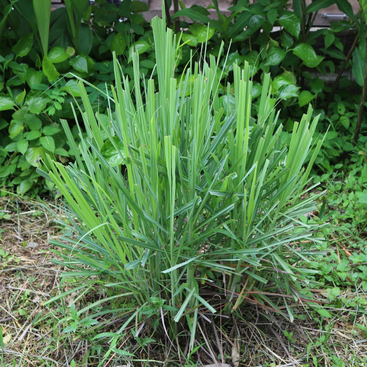 Lemongrass - Live Plant