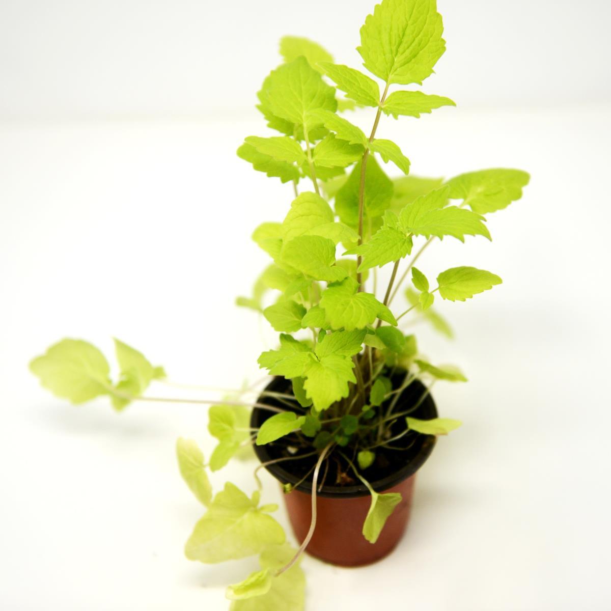 Valerian  - Live Plant