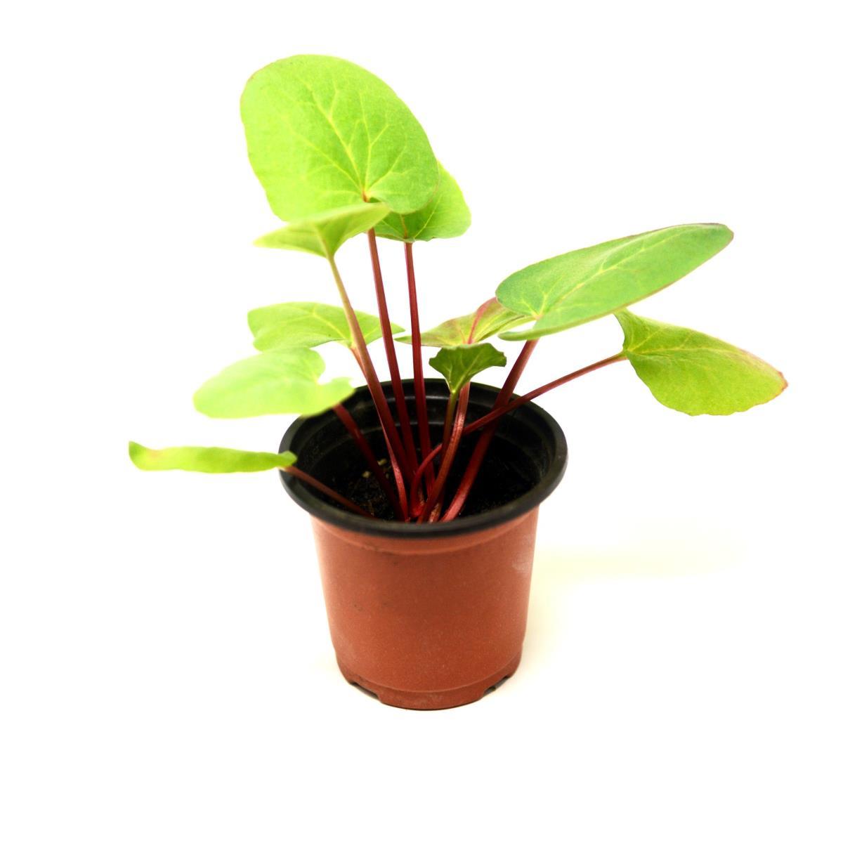 Rhubarb - Live Plant