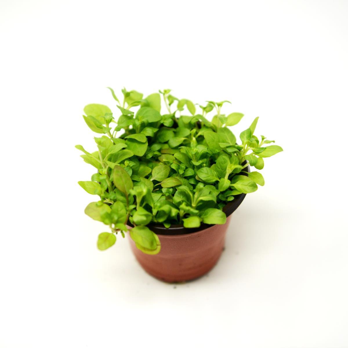 Pennyroyal - Live Plant